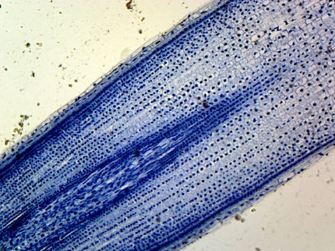 Mitochondria, from Zea Maiz or Onion Epidermis; Section