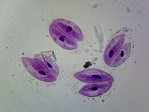 Paramecium Conjugation; Whole-mount