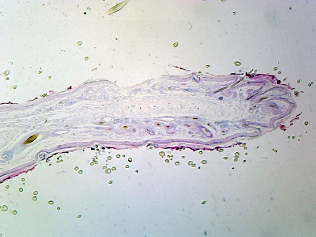 Yellow Elastic Cartilage Mammalian Section Gsc Go Science Crazy