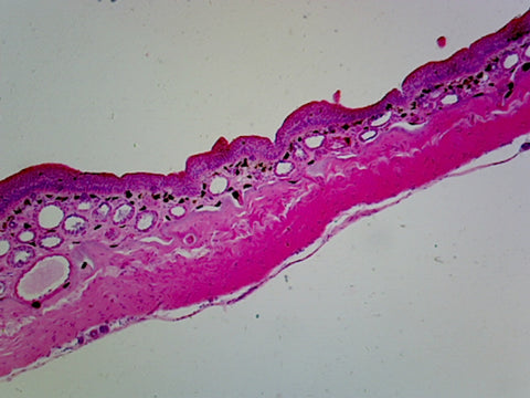 Amphibian Skin; Cross Section