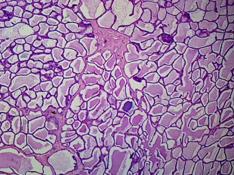 Active Mammary Gland; Section; H&E Stain