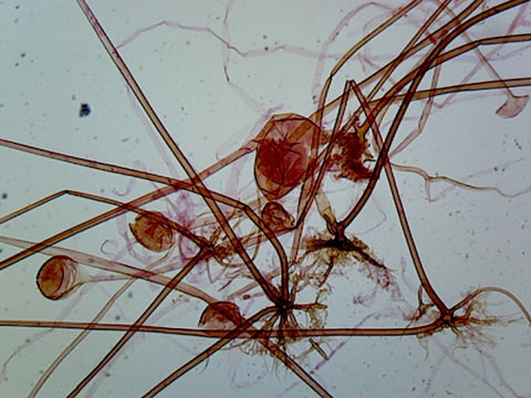 Rhizopus Asexual Reproduction; Whole-mount