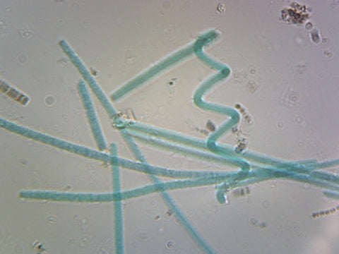 Oscillatoria; Filamentous Bacteria; Shows Simple Unbranched Filaments; Whole-mount; FS&FG stain