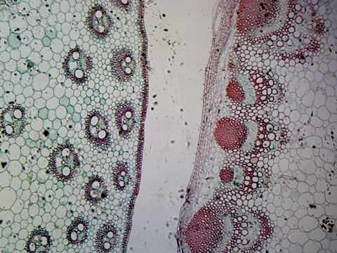 Monocot (Corn) and Dicot (Sunflower) Stem Comparison; Cross Section