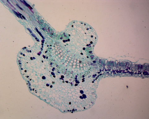 Begonia Leaf; Cross Section