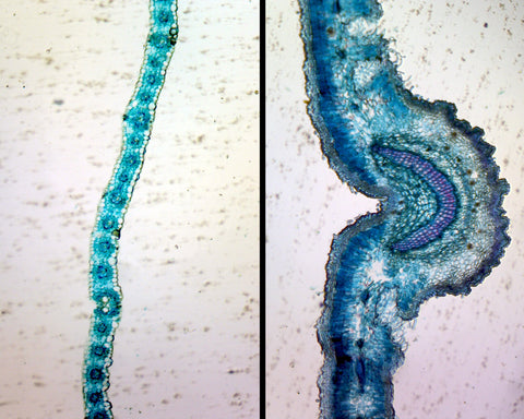 Monocot (Lilium) and Dicot (Sedum) Leaf Epidermis Comparison; Whole-mount