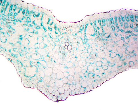 Lilium Leaf; Cross Section