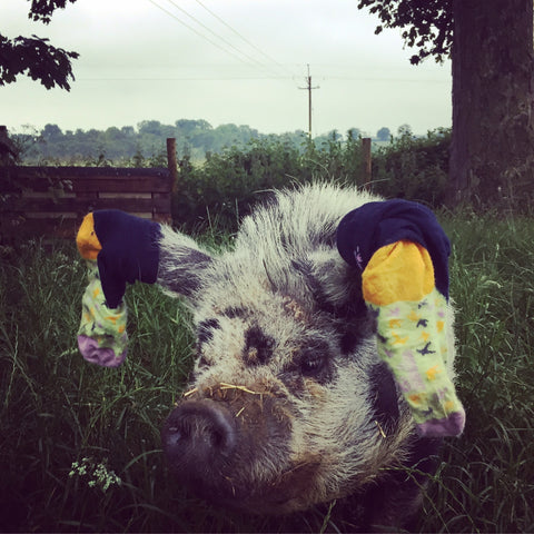 Smokey the Kune Kune pig loves super soft Quiet Rebellion socks