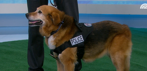 K-9  Flash wearing a Thin Blue Line USA collar on the Today Show