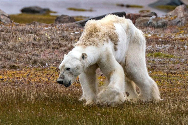 starving polar bear in Baffin Island