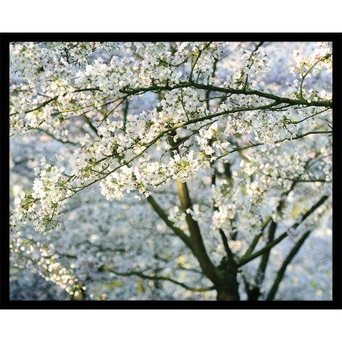 "Cherry Blossom-A-Rama   32"" x 42""   Deep Floater Frame"