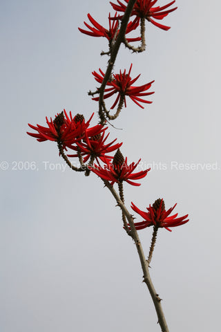 Flame Coral Tree Blossoms