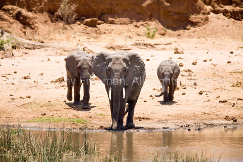 Three Elephants Fetch a Trunk of Water