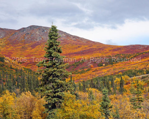 Mt McKinley Forest Safari in Fall