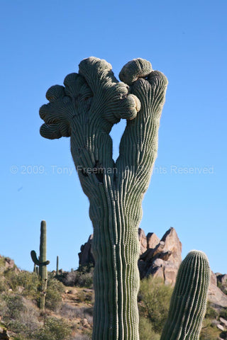 Crested Saguaro Up Close