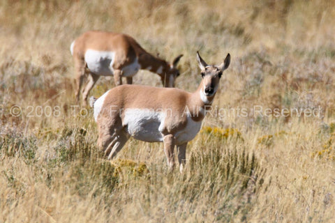 Pronghorn Mom