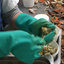 Picking Domestic Blue Crab - Boilerplate Crab & Co