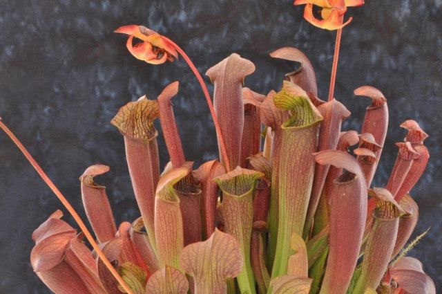 "Sarracenia ""Red Bug"""
