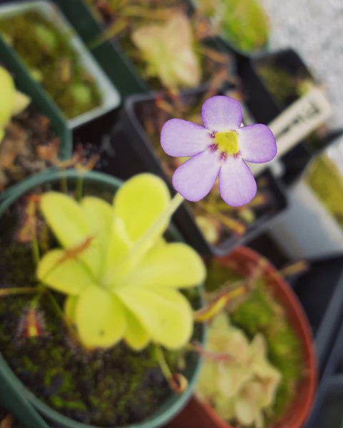 "Pinguicula agnata ""True Blue"""