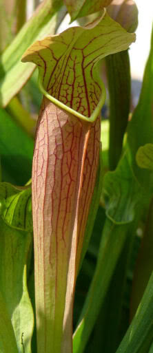 Sarracenia 'Bog Witch'
