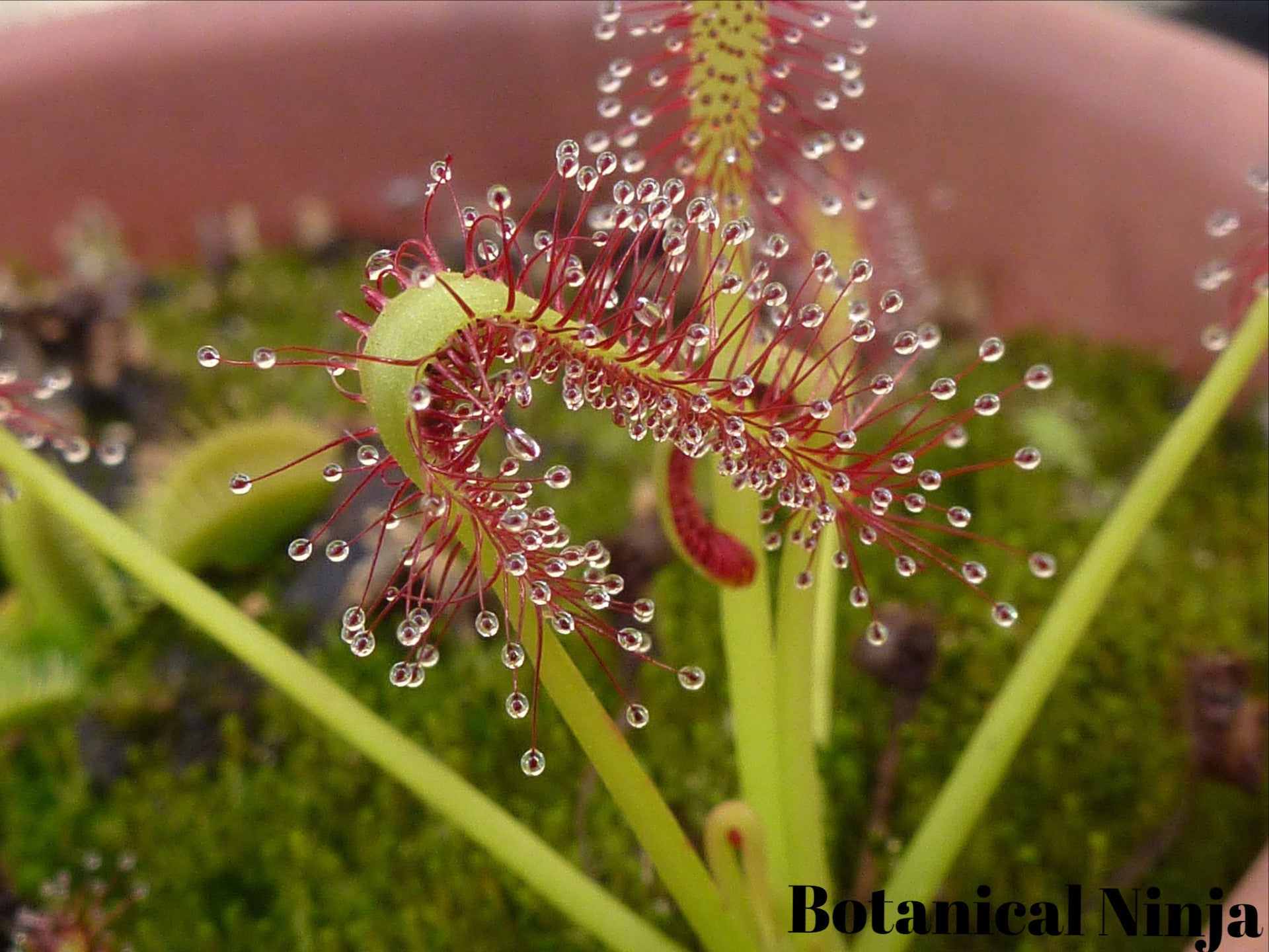 Drosera Capensis Seeds