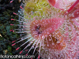 "Drosera burmannii ""Giant Red Form"""