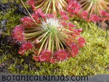 "Drosera occidentalis ssp. occidentalis ""Beermullah"" gemmae"