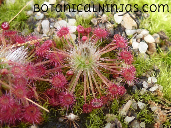 "Drosera occidentalis ssp. australis ""Warriup"" gemmae"
