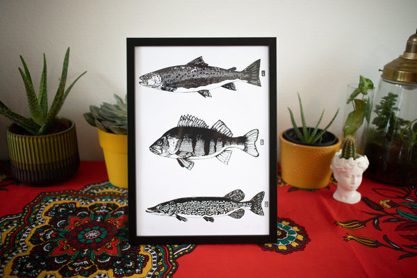 Perch, pike & sea run brown trout in black frame.