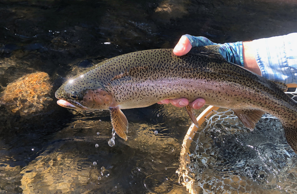A quick shot of a larger rainbow taken on a grasshopper and safely released onto Madison River near Ennis Montana