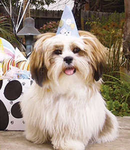 Havanese at dog birthday party