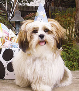 Havanese wearing dog birthday party hat