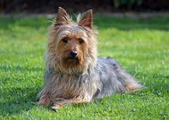 adult male Silky Terrier