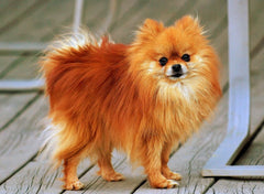 photo by Rob Hanson - Pomeranian Coco
