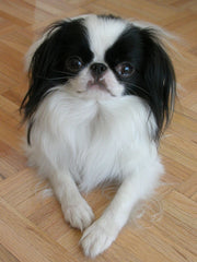 Japanese Chin head on