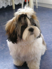 photo by Wawri (Tomasz Wawak) - Shih Tzu dog, name: Fibi (female), 1.5 years old on photo
