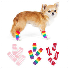Chihuahua wearing dog socks