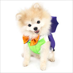 Pomeranian wearing Dracula dog costume