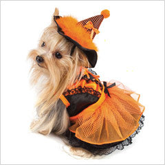 Yorkie wearing a Dog Witch Costume