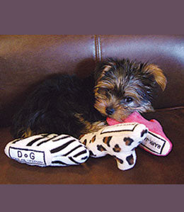 Yorkie chewing on shoes