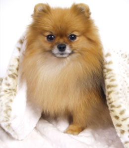 Pomeranian after a dog grooming