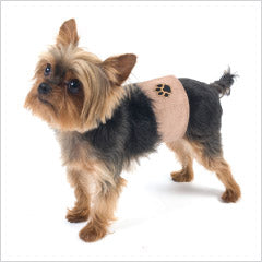Yorkie wearing male dog belly band