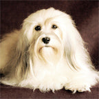 Happy Paws Havanese