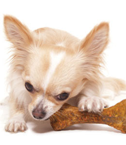 Chihuahua with dental dog bone