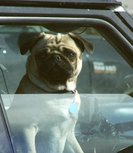 pug in car window