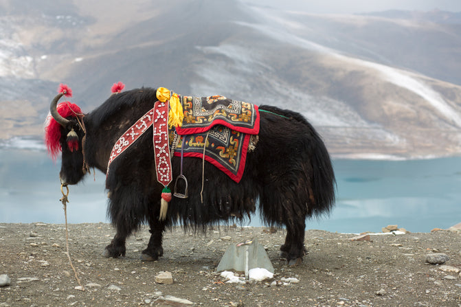 Yak with saddle in Himalayan mountains