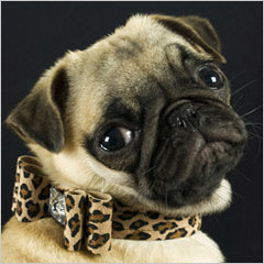 Pug Wearing Big Bow Dog Collar