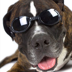 Big dog wearing Doggles dog sunglasses