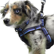 Australian Shepherd in dog harness