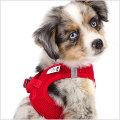 Toy Australian Shepherd wearing Step-In dog harness